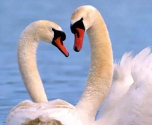 pareja cisnes