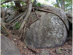 raiz abraza piedra